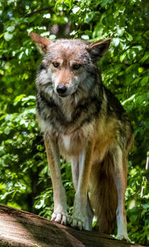 Mexican Wolf Stock 38