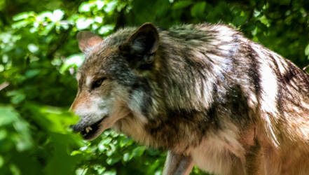 Mexican Wolf Stock 39: Snarl