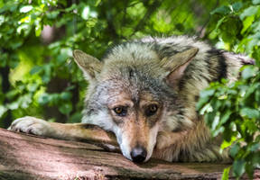 Mexican Wolf Stock 40 by HOTNStock