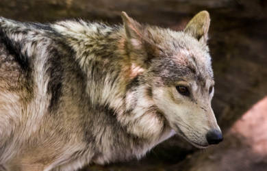 Mexican Wolf Stock: 41