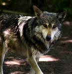Mexican Wolf Stock: 42