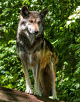 Mexican Wolf Stock: 43