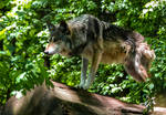 Mexican Wolf Stock: 44