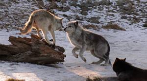 Premium Wolf Stock: 1 by HOTNStock