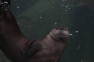 American River Otter Stock 8 by HOTNStock