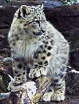Snow Leopard Stock 40: Cub