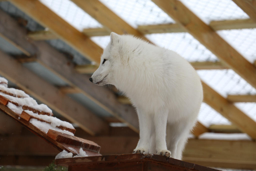 Arctic Fox Stock 12 by HOTNStock