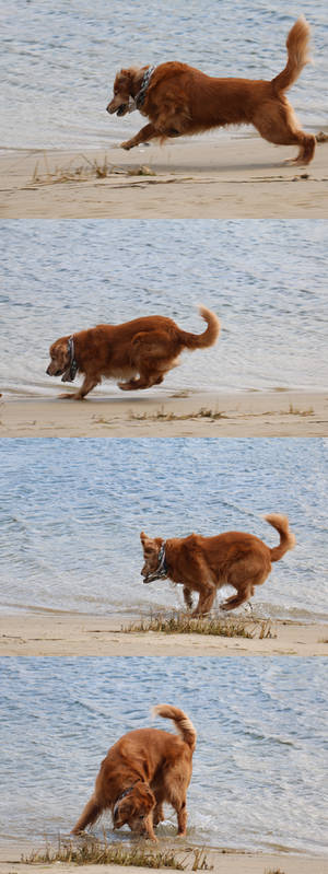 Action Series 1: Lunge and Stop - Golden Retriever