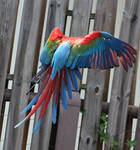Bird Stock 16: Scarlet Macaw Wings