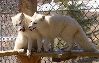 Arctic Fox Stock 15: Siblings by HOTNStock