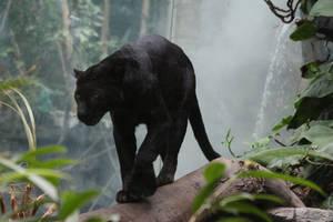 Black Leopard Stock 3