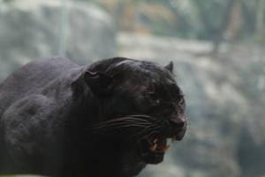 Black Leopard Stock 4: Snarl by HOTNStock