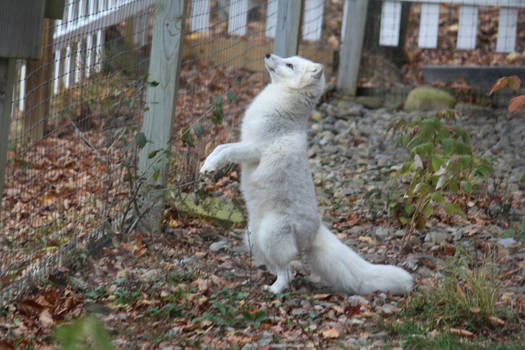 Arctic Fox Stock 16: Standing