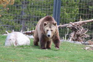 Grizzly Bear Stock 1 by HOTNStock