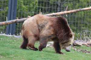 Grizzly Bear Stock 2 by HOTNStock