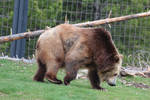 Grizzly Bear Stock 2