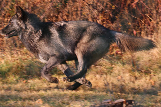 Gray Wolf Stock 38: Running wolf drawing reference