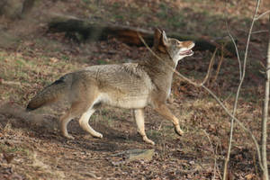 Eastern Coyote Stock 1
