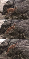 Action Series 2: Female Markhor Climbing Cliff by HOTNStock