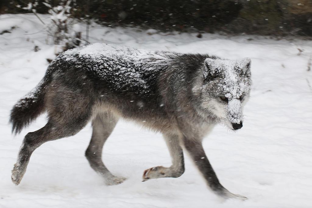 gray wolf running wwwpixsharkcom images galleries