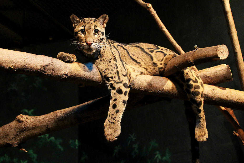 Clouded Leopard Stock 1 by HOTNStock