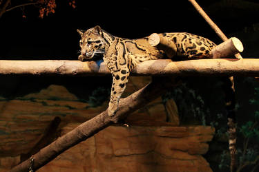 Clouded Leopard Stock 3 by HOTNStock
