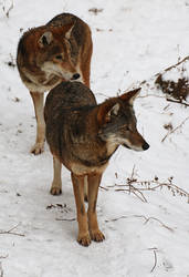 Red Wolf Stock 77 by HOTNStock