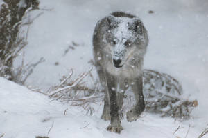 Gray Wolf Stock 42: Snowstorm by HOTNStock