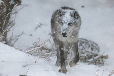 Gray Wolf Stock 42: Snowstorm