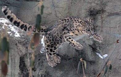 Snow Leopard Stock 46: Leaping by HOTNStock