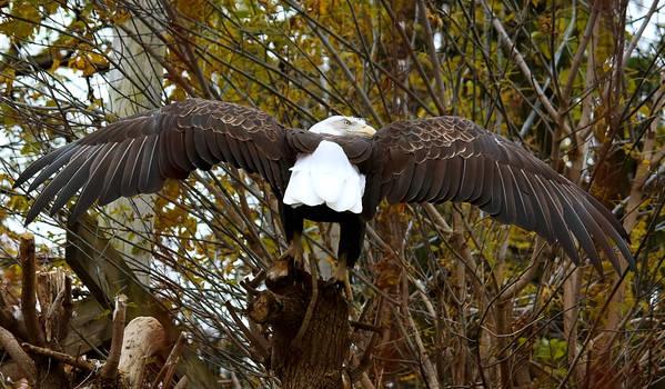 Bald Eagle Stock 4: Wings