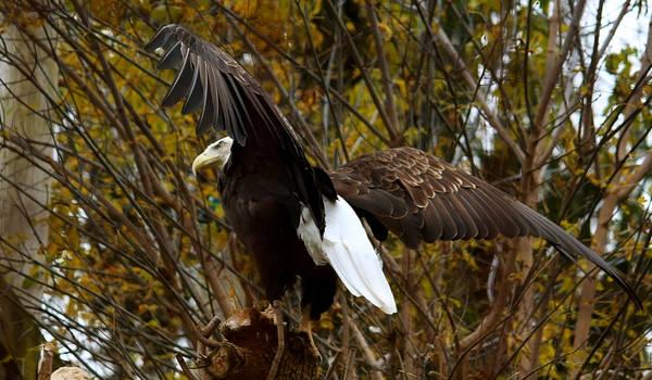 Bald Eagle Stock 5: Wings