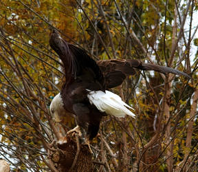 Bald Eagle Stock 6: Wings by HOTNStock