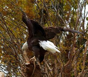 Bald Eagle Stock 6: Wings