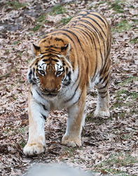 Amur Tiger Stock 22 by HOTNStock