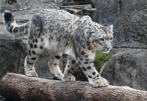 Snow Leopard Stock 47