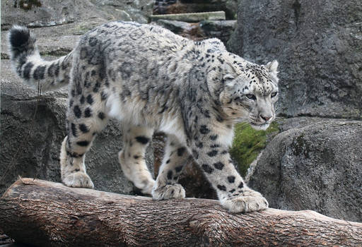 Snow Leopard Stock 47