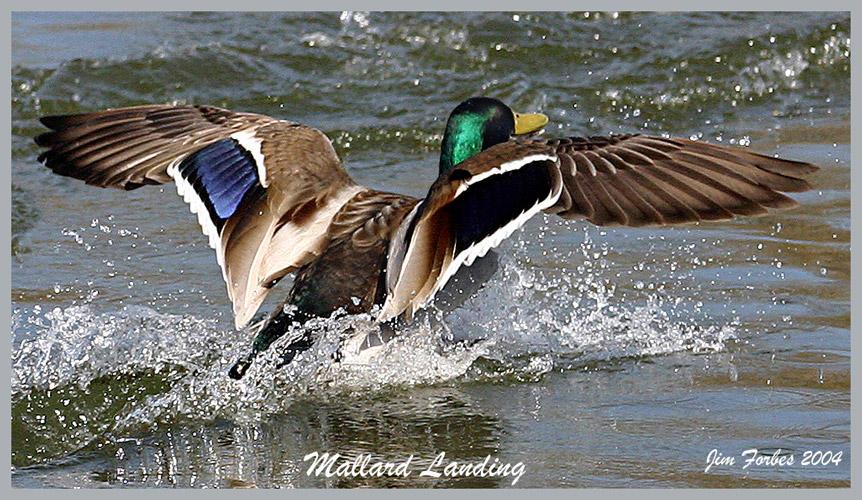 mallard ducks landing wallpaper