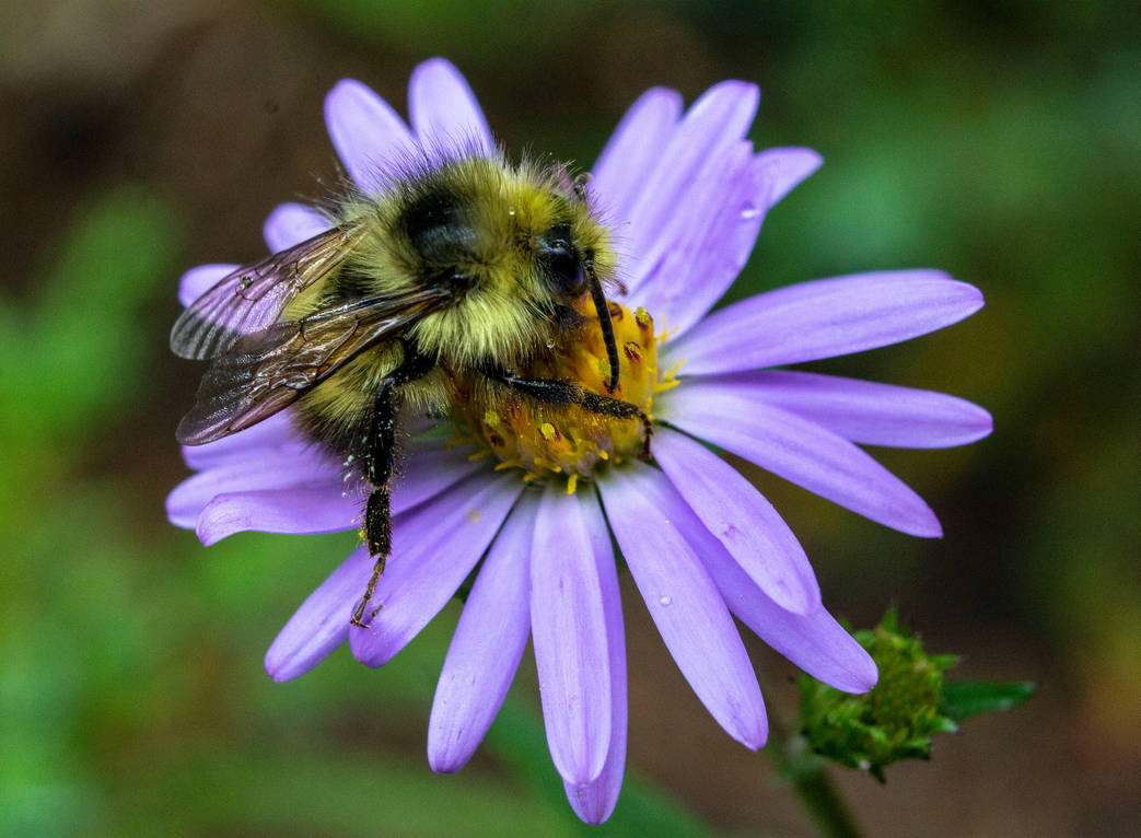 Bee-Aster
