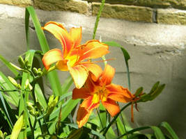 Tiger Lily IV by charliemarlowe