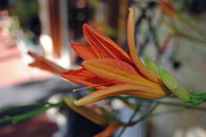 Tiger Lily VIII by charliemarlowe