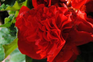 Red Begonia I by charliemarlowe