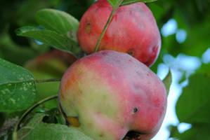 September Apples II by charliemarlowe