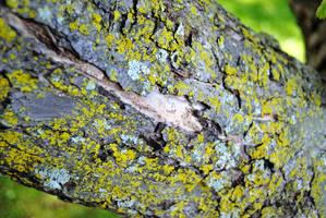 Apple Tree Bark by charliemarlowe