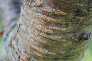Cherry Tree Bark by charliemarlowe