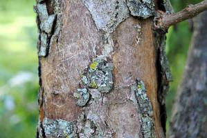 Pear Tree Bark by charliemarlowe