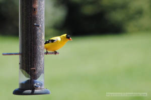 Goldfinch by charliemarlowe