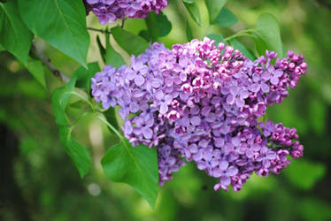 2011-05-30 Lilacs by charliemarlowe