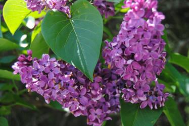 2012-05-10 Lilacs by charliemarlowe