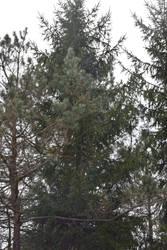 2020-05-02 Pine trees